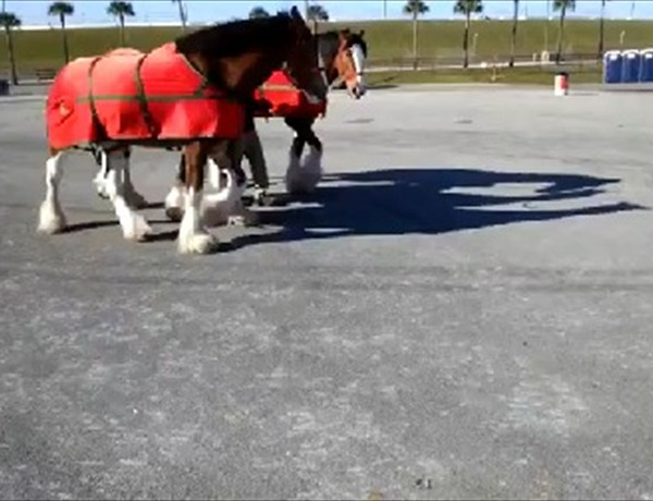 Budweiser Clydesdales take morning stroll at Daytona_-4661099294134089552