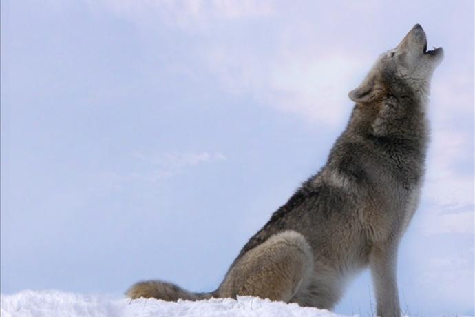 Gray wolf decision by federal judge_1660761352272105104