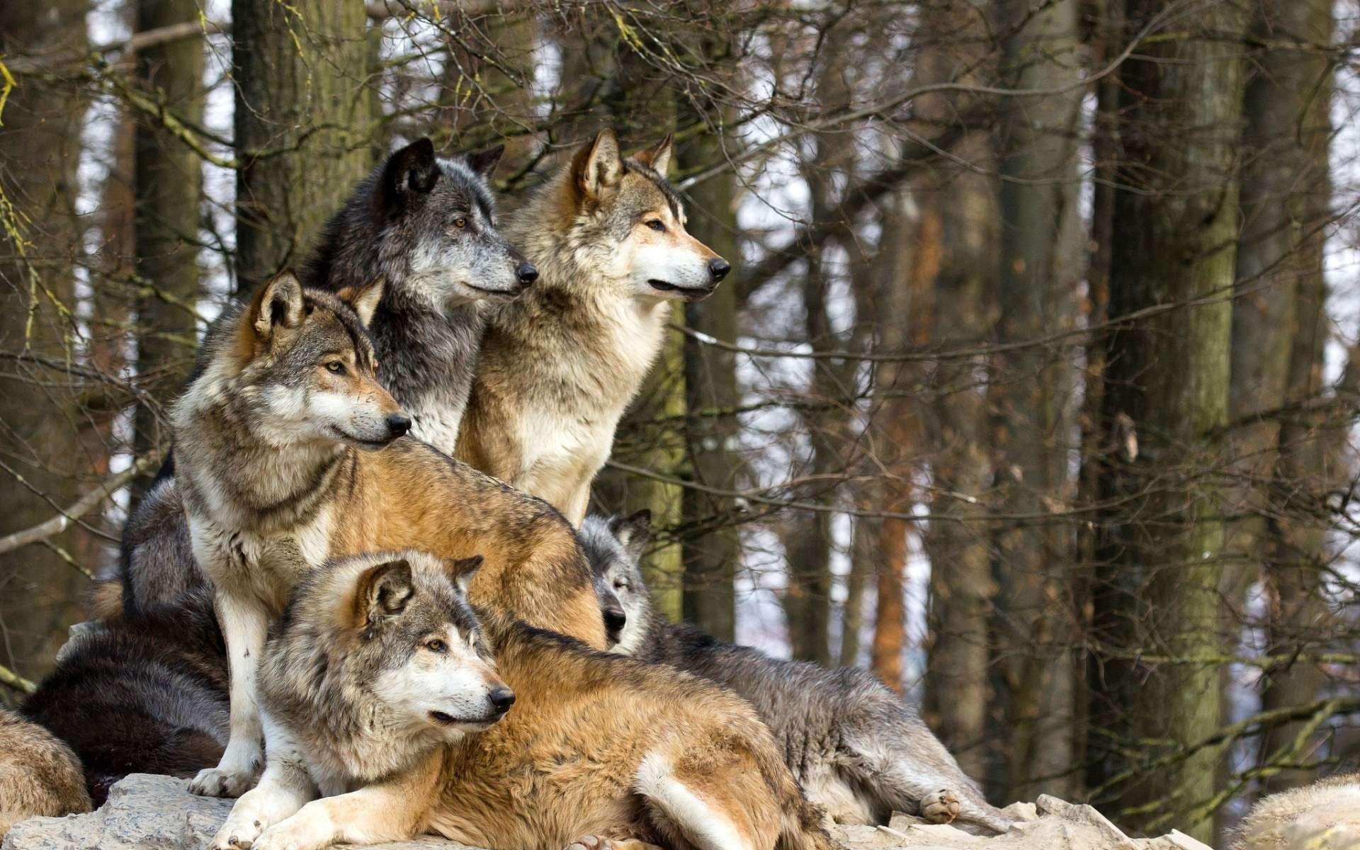 Wolves_1457558544891.jpg