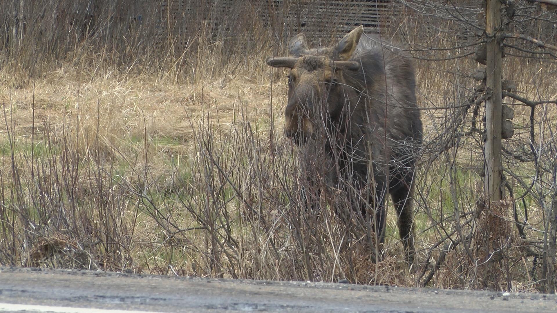 Moose Sighting VO2_1462402706196.jpg