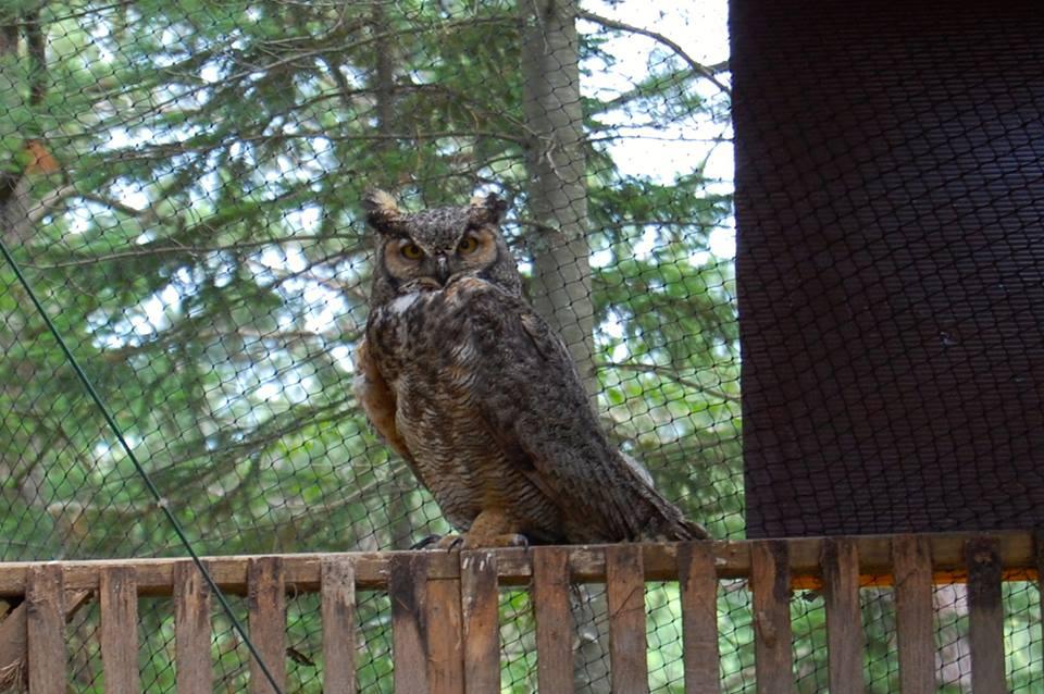 papa owl.jpg