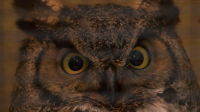 Great Horned Owl rehabbing again