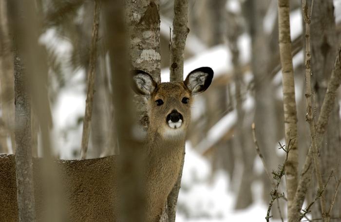 Winter+Deer_1493143046372.jpg