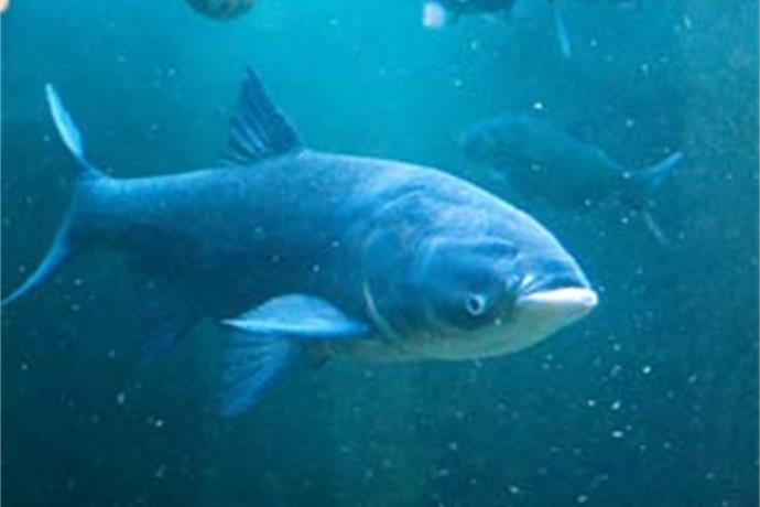 National Asian carp expert speaks in Green Bay_5819171577346739019