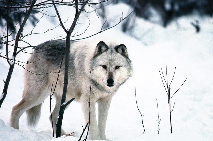 gray wolf_1457544892709.jpg